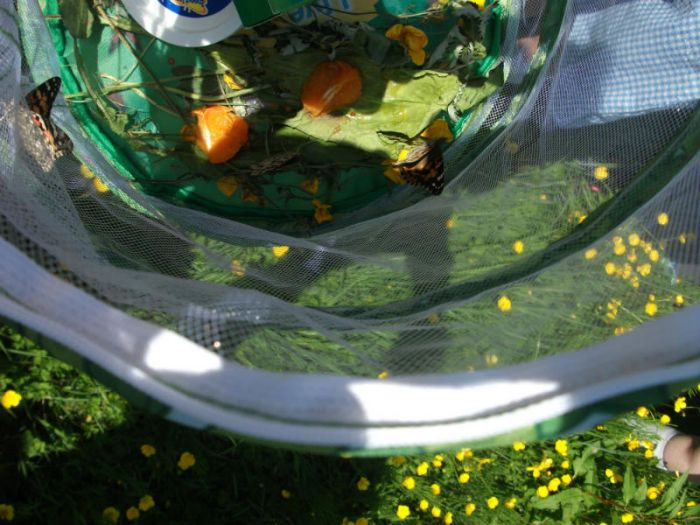 P7 release butterflies. They watched baby caterpillars change into Chrysalis' and then into Butterflies – the process of metamorphosis
